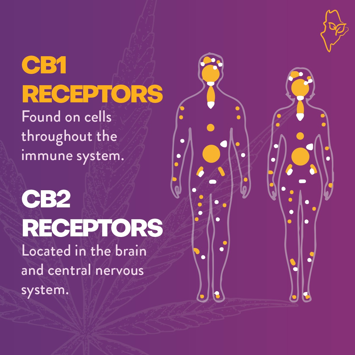 Endocannabinoid System (ECS) - Retail & Wholesale CBD Products