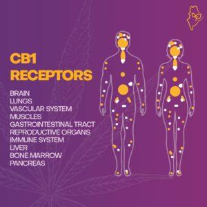 CB1 Cannabis receptor