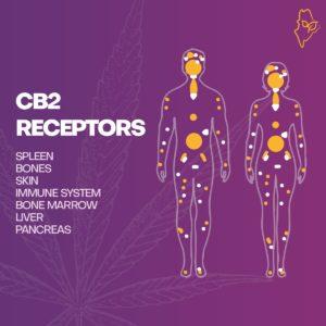 cb2 cannabis receptor